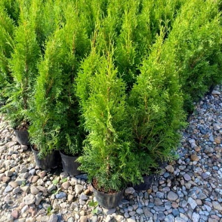Thuja Occidentalis Smaragd 40 cm - Conifere - AgroDenmar.ro