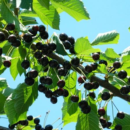 Cires amar Amara - Pomi fructiferi - AgroDenmar.ro