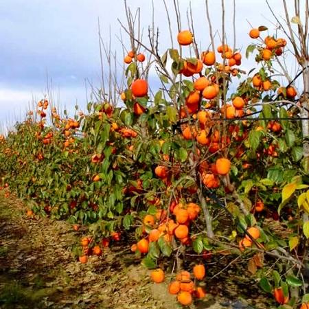 Kaki Rojo Brillante - Arbusti fructiferi - AgroDenmar.ro