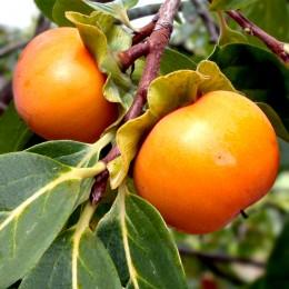 Kaki Sharon - Arbusti fructiferi - AgroDenmar.ro