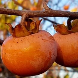 Kaki Rosseyanka - Arbusti fructiferi - AgroDenmar.ro