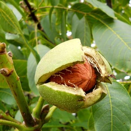Nuc Sibisel 44 - Pomi fructiferi - AgroDenmar.ro