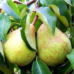Par Decana Comisiei - Pomi fructiferi - AgroDenmar.ro