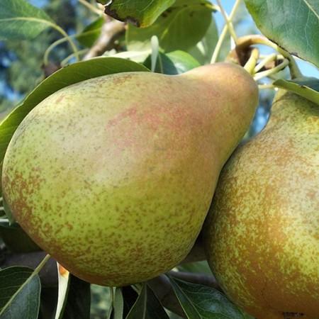 Par Ilonka - Pomi fructiferi - AgroDenmar.ro
