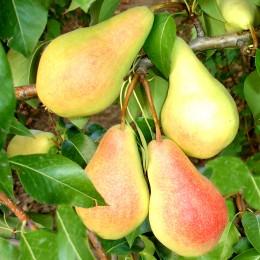 Par Monica - Pomi fructiferi - AgroDenmar.ro