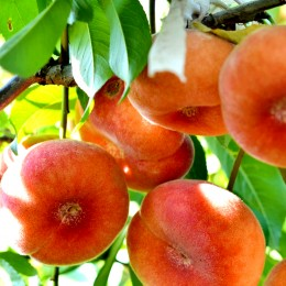 Piersic plat Filip - Pomi fructiferi - AgroDenmar.ro