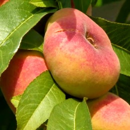 Piersic plat Florin - Pomi fructiferi - AgroDenmar.ro