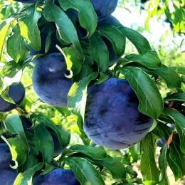Prun Black Star - Pomi fructiferi - AgroDenmar.ro