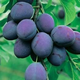 Prun President - Pomi fructiferi - AgroDenmar.ro