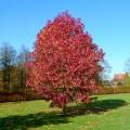 Arbore de Guma - Liquidambar Styraciflua