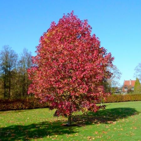 Arbore de Guma - Liquidambar Styraciflua - Arbori ornamentali - AgroDenmar.ro