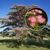 Arbore de matase (Albitia) 1,5 - 3 metri