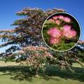 Arbore de matase (Albitia)
