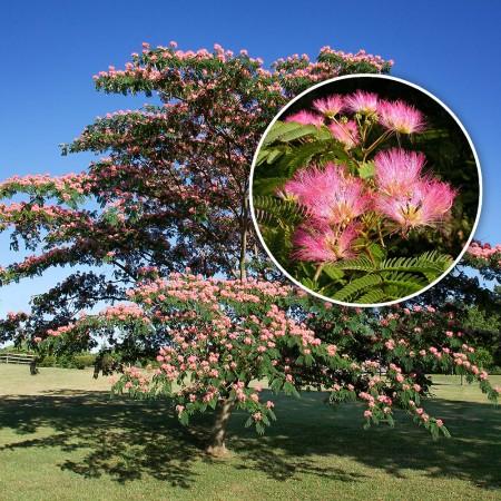 Arbore de matase (Albitia) - Arbori ornamentali - AgroDenmar.ro
