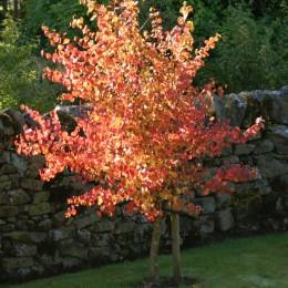 Arbore Katsura - Cercidiphyllum Japonicum  - Arbori ornamentali - AgroDenmar.ro