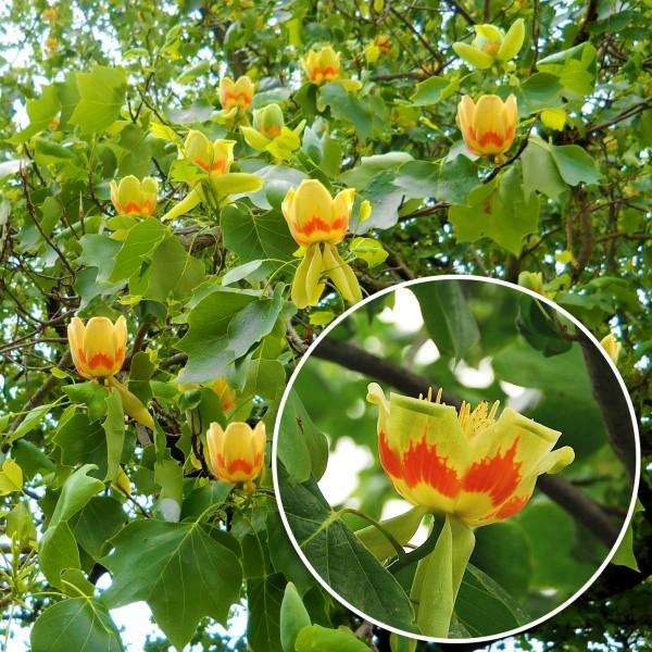 Arborele de Lalea - Arbori ornamentali - AgroDenmar.ro
