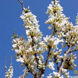 Arborele Iudei (Cercis Shirobana) 120 - 150 cm - Arbori ornamentali - AgroDenmar.ro