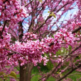 Arborele Iudei (Cercis siliquastrum) - Arbori ornamentali - AgroDenmar.ro
