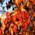 Arborele Păcii Columnar - Davidia involucarata - Arbori ornamentali - AgroDenmar.ro