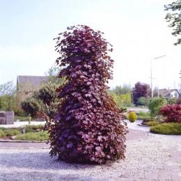 Artar Crimson Sentry - Arbori ornamentali - AgroDenmar.ro