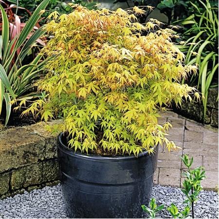 Artar japonez Katsura - Arbori ornamentali - AgroDenmar.ro