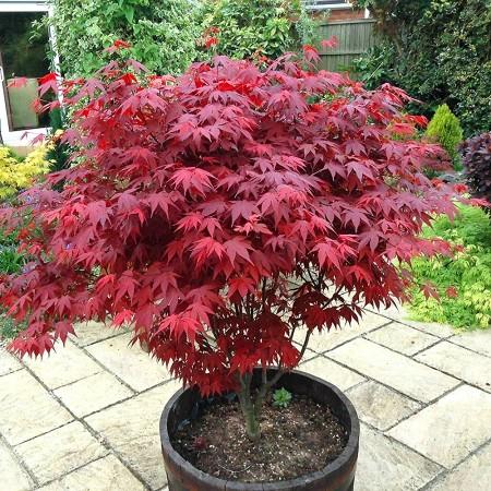 Artar japonez Rosu - Arbori ornamentali - AgroDenmar.ro