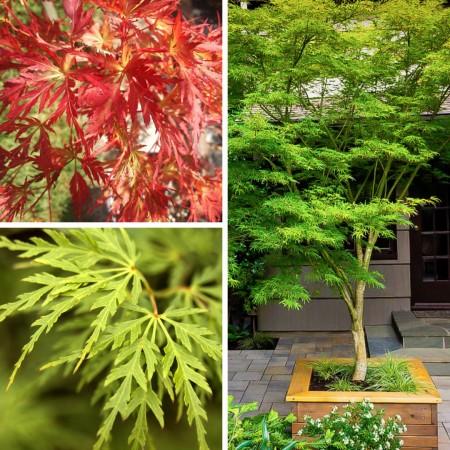 Artar japonez Seiryu - Arbori ornamentali - AgroDenmar.ro