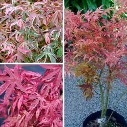 Artar japonez Shirazz - Arbori ornamentali - AgroDenmar.ro