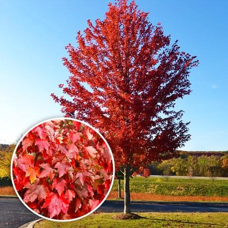 Artar Rosu - Arbori ornamentali - AgroDenmar.ro