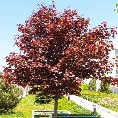 Artar Royal Red - Arbori ornamentali - AgroDenmar.ro