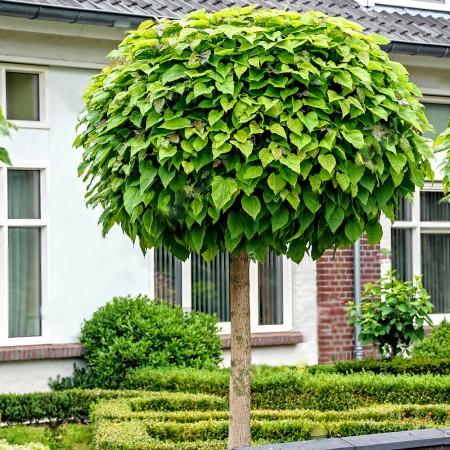 Catalpa Globulara - Arbori ornamentali - AgroDenmar.ro