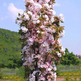 Cires Japonez Amanogawa - Arbori ornamentali - AgroDenmar.ro