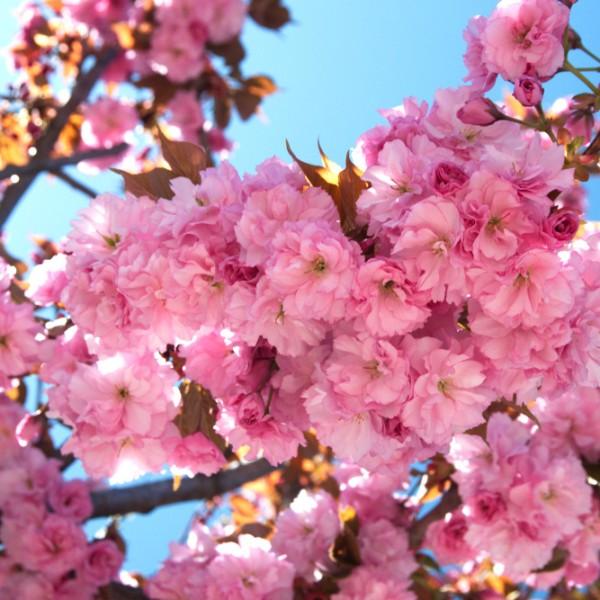 Cires Japonez Kanzan - Arbori ornamentali - AgroDenmar.ro