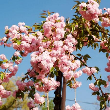 Cires Japonez Kiku Shidare Zakura - Arbori ornamentali - AgroDenmar.ro