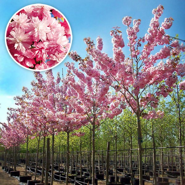 Cires Japonez Pitic - Arbori ornamentali - AgroDenmar.ro