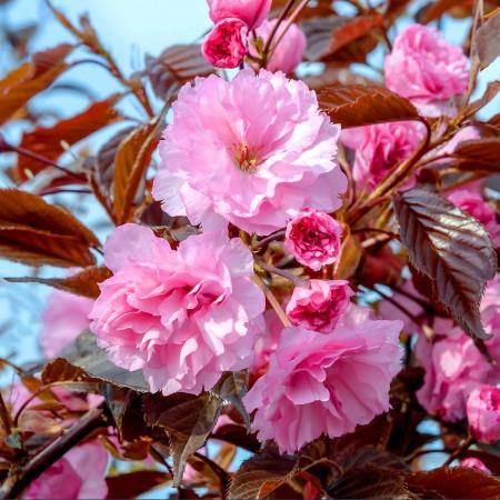 Cires Japonez Royal Burgundy - Arbori ornamentali - AgroDenmar.ro