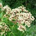 Copacul de miere (Evodia hupehensis)