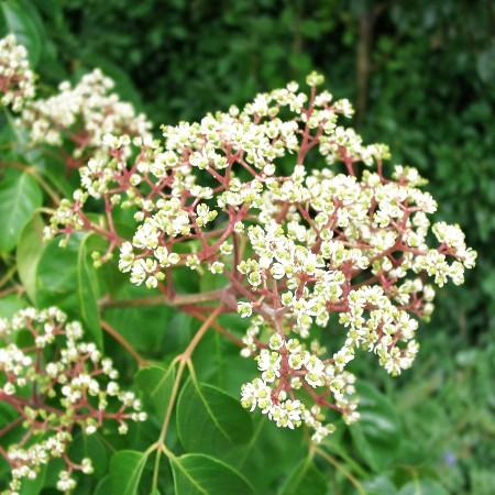 Copacul de miere (Evodia hupehensis) - Arbori ornamentali - AgroDenmar.ro
