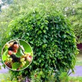 Dud Pendul altoit - Morus alba pendula
