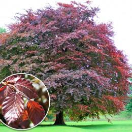 Fag rosu - Arbori ornamentali - AgroDenmar.ro