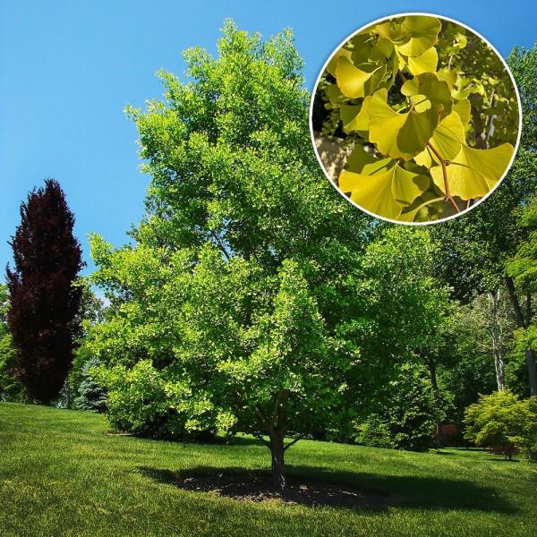 Ginkgo Biloba - Arbori ornamentali - AgroDenmar.ro