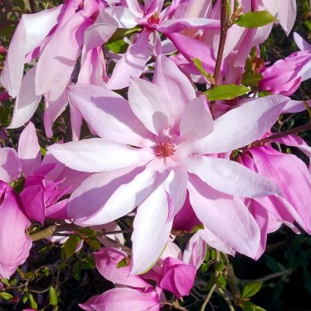 Magnolia Betty - Arbori ornamentali - AgroDenmar.ro