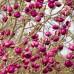 Magnolia Black Tulip - Arbori ornamentali - AgroDenmar.ro