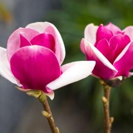Magnolia Cameo - Arbori ornamentali - AgroDenmar.ro