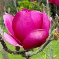 Magnolia Cleopatra