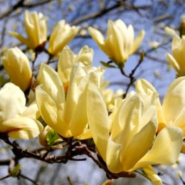 Magnolia Elisabeth - Arbori ornamentali - AgroDenmar.ro