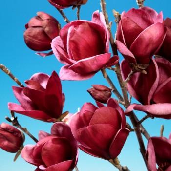 <span>Magnolia</span> <span>Genie</span> <span>-</span> <span>tip</span> <span>copac</span>