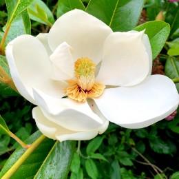 Magnolia grandiflora Maryland - Arbori ornamentali - AgroDenmar.ro