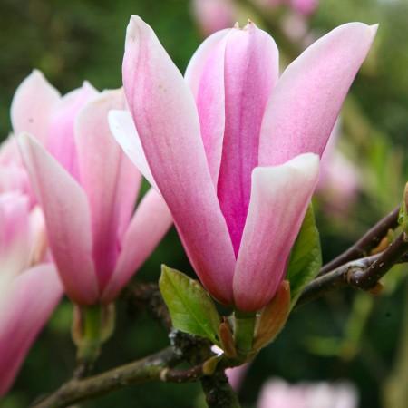 Magnolia Heaven Scent - Arbori ornamentali - AgroDenmar.ro