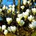 Magnolia Jade Lamp - Arbori ornamentali - AgroDenmar.ro